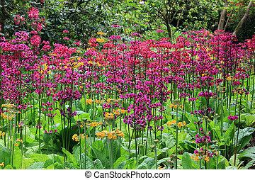 garden., fleurs ressort, primula, fleurir