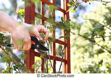 garden., gardening., rosa, lavoro, primavera, bushes., cura