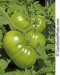Garden Green Tomatoes