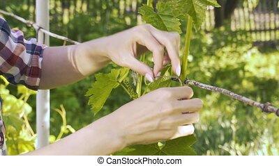 garden., haut, cravates, girl, ferme, eco, paysan, raisins
