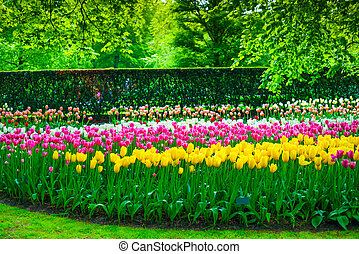 Garden in Keukenhof, tulip flowers and trees. Netherlands - ...