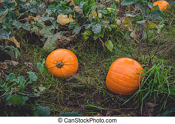 Garden in the fall with orange pumpkins