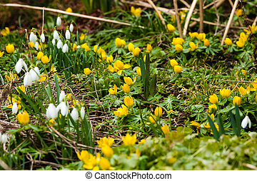 Garden in the spring with eranthis flowers