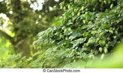 garden., lent, cônes, mûre, motion., buisson, entiers, vert, houblon, vidéo, 1080p, hd