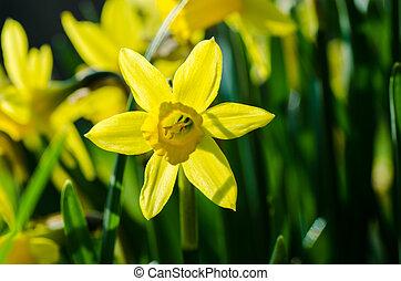 Garden Lent Lily - Closeup of a yellow Lent lily in a garden...