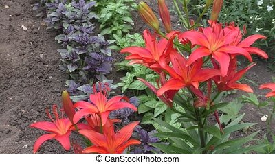 Garden Lily Red