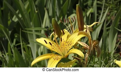 Garden Lily yellow In the flecked in summer