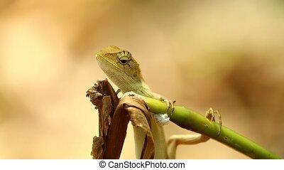 Garden Lizard Dragon Lizard Closeup Bokeh Background -...