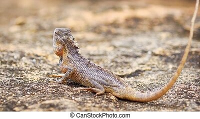 Small garden lizard poses on a rock before noticing the camera and running away in Habarana, Sri Lanka