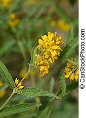 Garden loosestrife yellow flower - Latin name - Lysimachia...