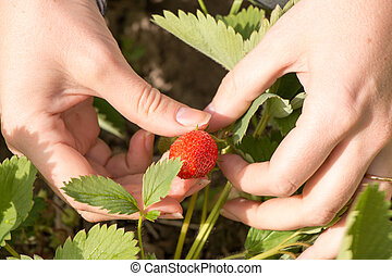 garden., mulher, mão, morangos, coletado, fresco