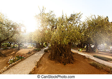 Garden of Gethsemane, famous historic place - Garden of...
