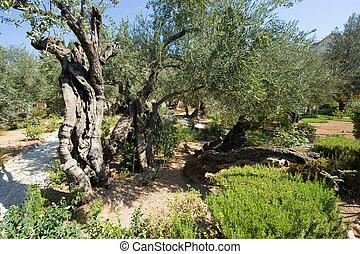 Garden of Gethsemane - Old olive trees in the garden of...