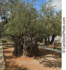 Garden of Gethsemane - The great city of Jerusalem. Garden...