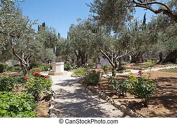 Garden of Gethsemane - Olives trees in the Garden of...