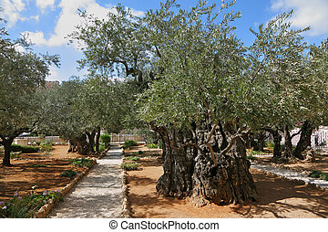 Garden of Gethsemane.Thousand-year olive trees - The great...