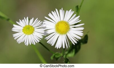 daisy and grass - garden of italy daisy and grass move by...