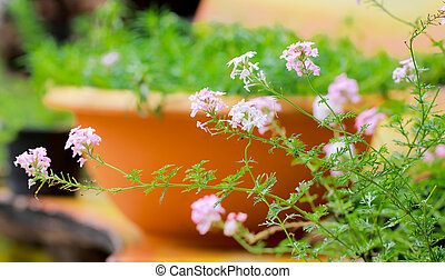 verbena flowers in pot