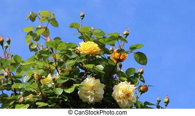 Garden of roses - Shot of Garden of roses