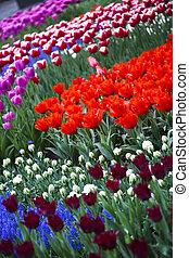 Garden of tulips