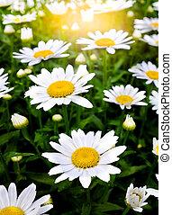 Garden of White Flowers Golden Sunlight Sunshine Morning Glory