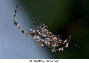 Garden Orb Spider At Work Burning Midnight Oil, Detailed Macro