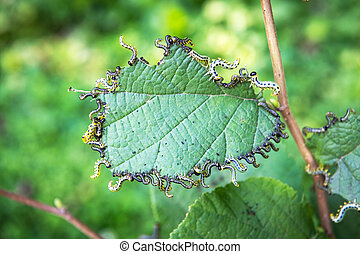 Walnut moth caterpillars