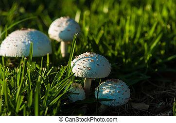 garden., photo, toxique, champignons