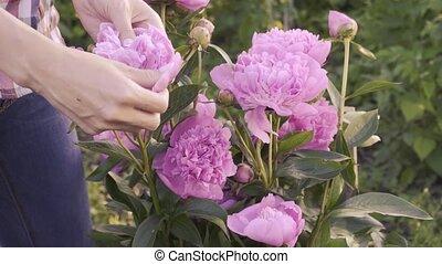 garden., piwonia, georgeous, wiosna, różowy