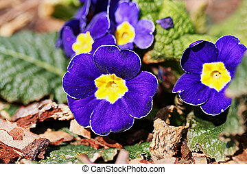Garden primula cultivar, blue flowers