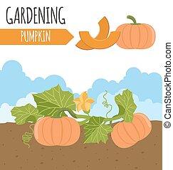 garden., pumpkin., 植物, 成長