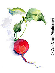Garden radish, watercolor illustration