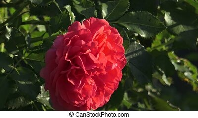 garden., rose, parc, roses rouges