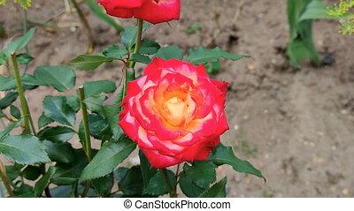 garden., rose, paysage, été