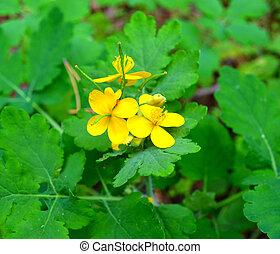 garden., sain, concept., celandine, (chelidonium)