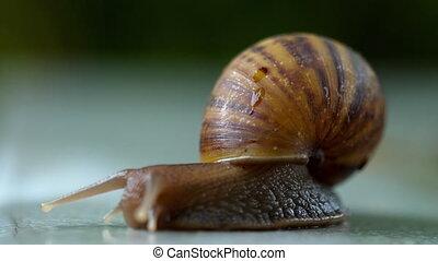 Garden snail crawling, macro