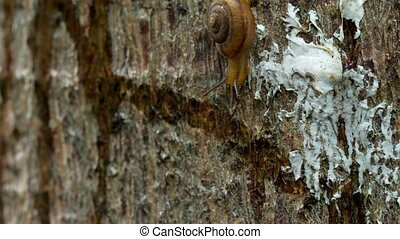 Garden snail crawling, macro - Snail gliding on the wood....