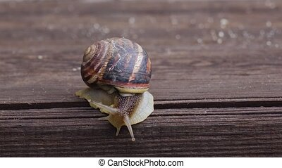 Garden snail crawling on a wooden surface. Close up - One...