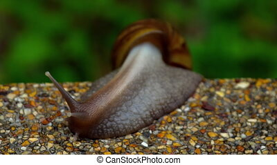 Garden snail crawling on pavement