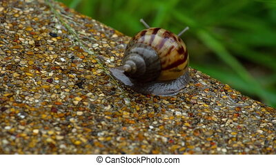 Garden snail crawling on pavement - Snail gliding on the wet...