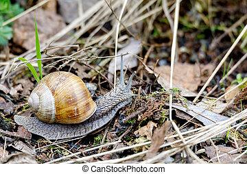 Garden snail (Helix aspersa), european wildlife, Czech...
