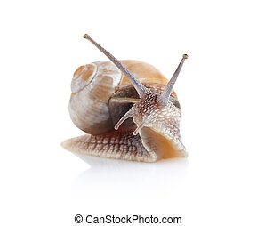 garden snail (Helix aspersa) isolated on white background