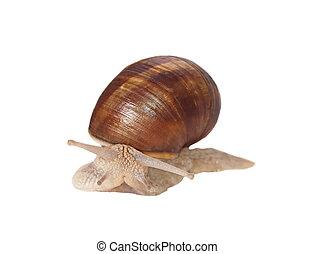 Garden snail (Helix aspersa) isolated on white