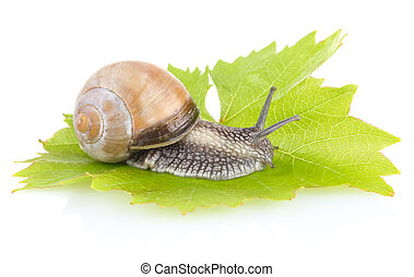 garden snail (Helix aspersa) on green leaf isolated white...