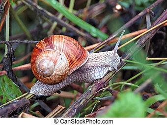Garden snail (Helix aspersa) sitting on the grass in garden