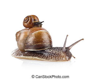 Garden snail (Helix aspersa) taxi isolated on white...