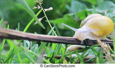 garden snail (Helix pomatia) - close-up crawling garden...