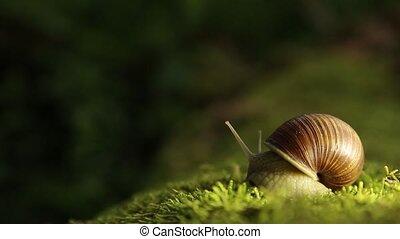 Garden snail on a green moss slowly turns his head - A grape...