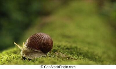 Garden snail on a green moss slowly turns his head HD...
