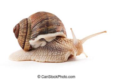 garden snail on a white background